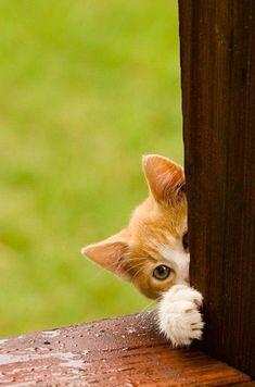 orange tabby kitten found you - he's been lookin' for you!! kitty cat feline gato