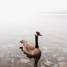 Come Fall Canada Geese make their annual journey from the northern territories of Canada to the southern reaches of the Gulf often flying up to 1500 miles in a singe day. To see more imagery of their annual trip follow migration.vsco.co.  Image by @ioegreer / #VSCO josephgreer.vsco.co by vsco