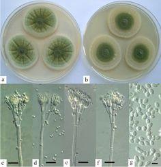 Colonies after 7 days at on (a) Czapek yeast extract agar; (b) malt extract agar; (c–f) penicilli, bar = 20 μm; (g) conidia, bar = 5 μm.