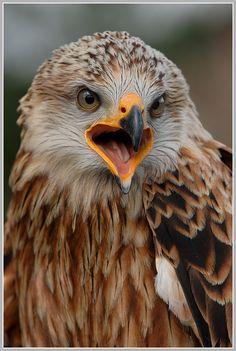 (Red) Kite (Rot) Milan 鸢 Plinius Exotic Birds, Colorful Birds, Milan Vogel, Owl Bird, Pet Birds, Beautiful Birds, Animals Beautiful, Eagles, Red Kite