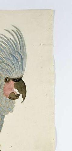 Blauwe papegaai met kuif, Robert Jacob Gordon (toegeschreven aan), in of na ca. 1780 - vogels-Verzameld werk van rietjetuut - Alle Rijksstudio's - Rijksstudio - Rijksmuseum