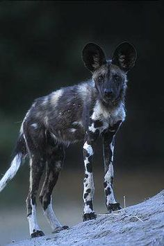 Paul Souders Botswana, Moremi Game Reserve, African Wild Dog