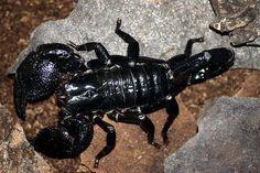 Death-Stalker-Scorpion