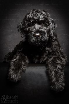 Black Russian Terrier Anna-Lila by Nicole Sikorski