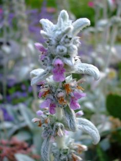 Second Silver - Lamb's Ears, seeds Stachys byzantina Perennial Ground Cover, Naturalize low grow zone Spring Plants, Spring Garden, Stachys Byzantina, Perennial Ground Cover, Lambs Ear, Perennials, Ears, Flowers, Silver