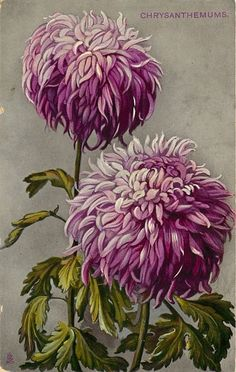 Purple chrysanthemums ~ one of the best teas in China is from chrysanthemum buds or blossoms. Vintage Botanical Prints, Botanical Drawings, Botanical Flowers, Botanical Art, Image Digital, Illustration Art, Illustrations, Postcard Art, Vintage Flowers