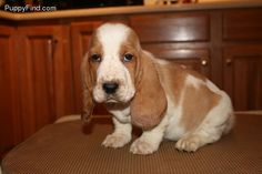 Bassett Hounds are the best!!