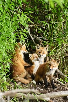Red Fox Kits Playing Close To Their Den by Michael Jones