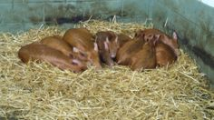 Sleeping piglets, Bill Quay farm in Pelaw