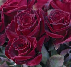 Black Baccara™  a deep red hybrid tea rose that is outstanding in the garden or as a cutting.  Will last 2 weeks in a vase