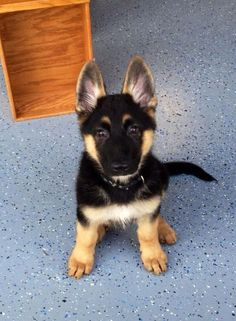 Look at those ears......such a cute pup!