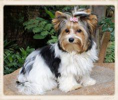 Biewer Terrier - Eljemelo Yorkies & Biewer Terriers - We Breed Um Coz We Luv Um - Lynnwood, Pretoria