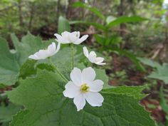 Skeleton Flower - Diphylleia Grayi. - Google Search