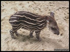 Brazilian tapir, via Flickr.