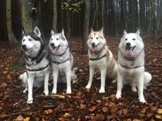 Siberian Husky pack posing for pictures. Karen Pawpack's Huskies. Such a wonderfully obedient pack!