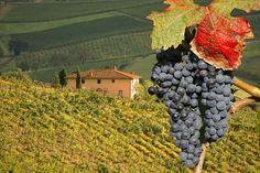 Vineyards italy Grapes win producer