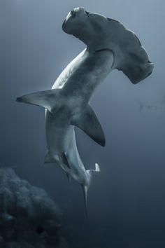 Tiburon martillo - Divergent Travelers Liked Travel Pins - Animales Underwater Creatures, Underwater Life, Underwater Animals, Orcas, Shark Week, Shark Shark, Baby Shark, Sea And Ocean, Fish Ocean