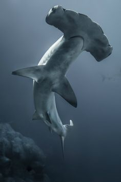 j4r3dd1n3s:  gl0vving:  Hammerhead Shark ||Rick White  #fuckno