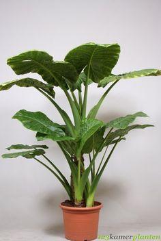 Alocasia Calidora (Olifantsoor)