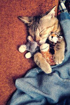 bengal kitten holding onto his toys :)