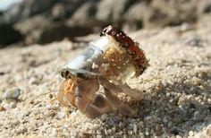 This is what it looks like when a hermit crab finds home in a broken bottle. pic.twitter.com/bsLjzOMwpo