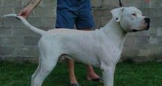 Puppies for Sale-Dogo Argentino