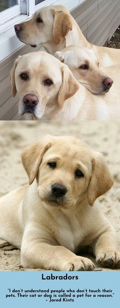 Discover more about Labradors Simply click here for more information
