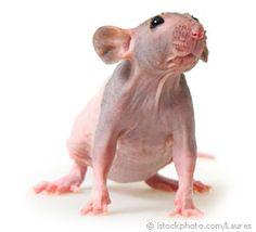 Hairless rat - ugliest lil guy