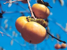 How to plant and grow persimmons - FUYU PERSIMMONS FOR THE WIN