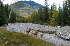 Big Horn Sheep in Banff National Park, Canada
