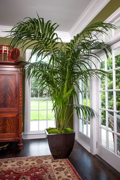 Huge Kentia Palm for Sale set in living room