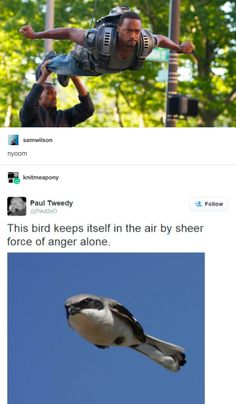 The bird that keeps itself in the air by sheer force of anger alone...