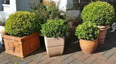 Feed Boxwood with Organic Plant Food in Early Spring Clusia, Ficus, Gardening For Beginners, Gardening Tips, Deer Resistant Shrubs, Buxus Sempervirens, Gemüseanbau In Kübeln, Pot Jardin, Pot Plante