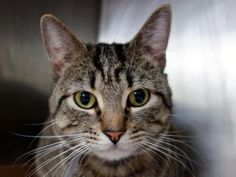 """TO BE DESTROYED - 04/09/15   NAPOLEAN - A1031454  MANHATTAN, NYCHARMING, HEADBUTTING TABBY """"STRAY"""" HAS A GREAT BEHAVIOR RATING AND NEEDS A LOVING CAT PARENT - PLEASE GRANT NAPOLEAN A DEATH ROW PARDON!!! Gorgeous two-year-old brown tabby boy NAPOLEAN could easily be on the cover of Cat Fancy magazine, but instead this sweet lovebug finds himself slung in the kill-happy ACC as a supposed """"STRAY"""". To us, it's obvious that this darling tabby laddie is a lost or abandoned pet kitty. Napolean…"""