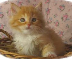 I want a little orange kitty more than anything...if only our landlord would allow it :-/