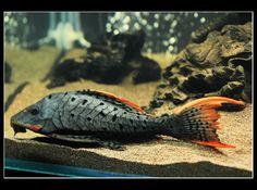 L-095 Orange Cheek Pleco  I need this fish. NEED.