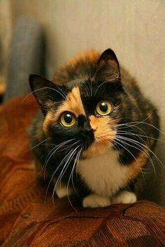 Beautiful calico with amazing markings on the face!