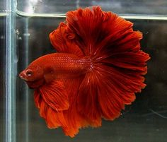Betta fish tail types and patterns