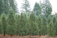 Pine Vanderwolf