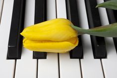 Google Image Result for http://images.fineartamerica.com/images-medium-large/yellow-tulip-on-piano-keys-garry-gay.jpg