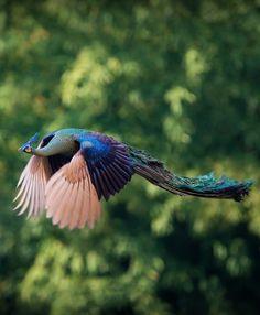 green asian peacock in flight, thailand #birds