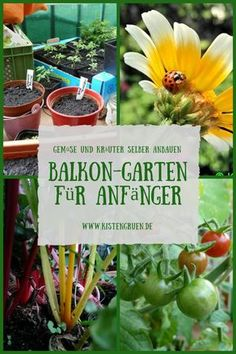 Create balcony garden for beginners: tricks for growing vegetables and herbs on . Create balcony garden for beginners: tricks for growing vegetables and herbs on the balcony Garden Types, Balcony Plants, Garden Plants, Balcony Gardening, Balcony Flowers, Growing Herbs, Growing Vegetables, Gardening For Beginners, Gardening Tips