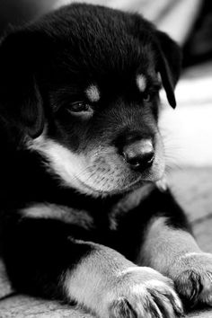 Heart melting puppy Free tips to train your Rottweiler  http://tipsfordogs.info/90dogtrainingtips/