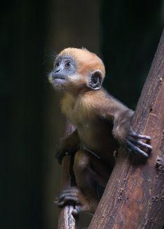 Francois's leaf monkey