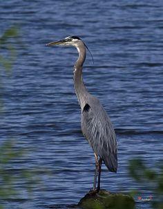 2007 Photograph, Great Blue Heron (Ardea herodias) Occoquan Bay NWR, Woodbridge, Virginia. � 2007.