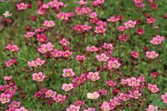 Patjarikko Saxifraga Arendsii-ryhmä / rosenbräcka. Kukkii touko-kesä.  Lähilajit ja lajikkeet: 'Alba', 'Blütenteppich', 'Peter Pan', 'Purpurmantel', 'Purpurteppich', 'Schneeteppich', 'Schwefelbüte' Kuvaus: Pienet, ainavihannat lehdet ovat neulasmaisia ja kasvavat ruusukkeisesti. Lehvästö kasvaa maanmyötäisesti ja ohuet kukkavarret kohoavat korkeintaan 20 cm korkeuteen. Muodostaa laajoja kukkamattoja valkoisin, vaaleankeltaisin, ruusunpunaisin tai karmiininpunaisin maljamaisin kukin.