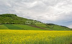 Beautiful landscape of a yellow field rapeseed in bloom and green hills under a cloudy sky Yellow Fields, Yellow Flowers, Beautiful Landscapes, Golf Courses, Bloom, Sky, Green, Heaven, Heavens