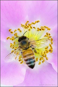 Honey Bee on wild Rose ~dl~ I Love Bees, Birds And The Bees, Flora, Bees And Wasps, Fotografia Macro, Bee Art, Beautiful Bugs, Bugs And Insects, Save The Bees