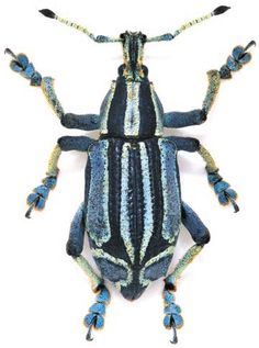 Eupholus bennetti is a species of beetles belonging to the family Curculionidae. Size:2.6cm (Photo by: chasing Linnaeus)