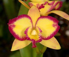 Inter-generic Orchid-hybrid Blc: BrassoLaelioCattleya  (BrassoLaelioCattleya 'Fantasy Love'x BrassoLaelioCattleya 'Love Blush') - Sunset Valley Orchids